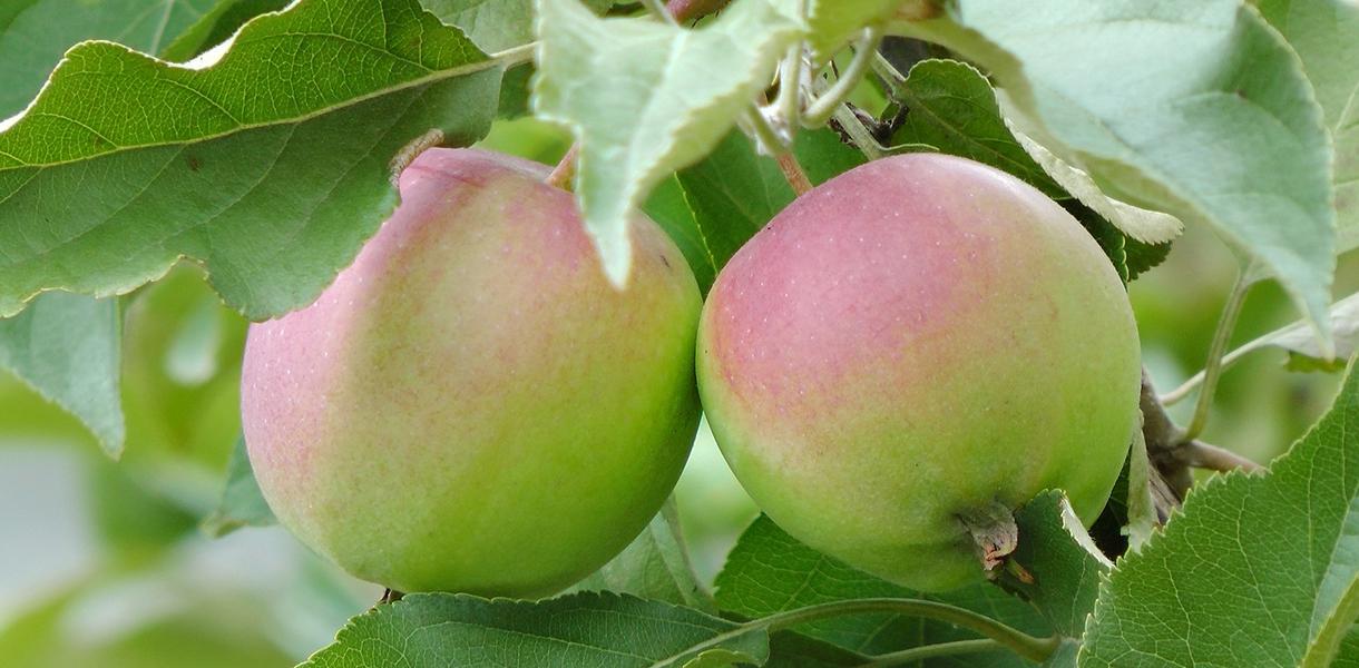 Zwei Äpfel täglich sind gut fürs Herz