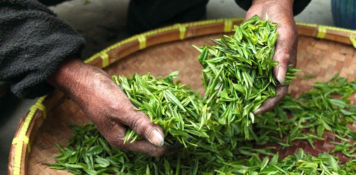 Mit grünem Tee länger leben?