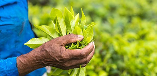 Neuere Forschungen zeigen, dass auch pflanzliche Extrakte und Substanzen wie grüner Tee und Resveratrol die Knochengesundheit und speziell die Gelenkfunktionen positiv beeinflussen können